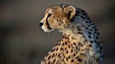 Cheetahs 'sell for $6,000' on social media in Saudi Arabia