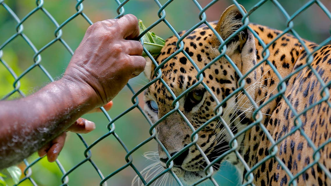 A Sri Lankan zoological garden employee reaches to apply oil on a leopard as a blessing ritual to mark the Sinhalese and Tamil traditional New Year in Colombo, Sri Lanka, Saturday, April 16, 2016. The ritual of anointing oil is performed on both people and animals as a part of New Year celebrations.(AP Photo/Eranga Jayawardena)