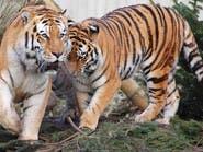 فرار نمرين من مأوى للأسود والنمور في هولندا