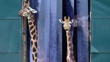 Genes tell how the giraffe got its long neck