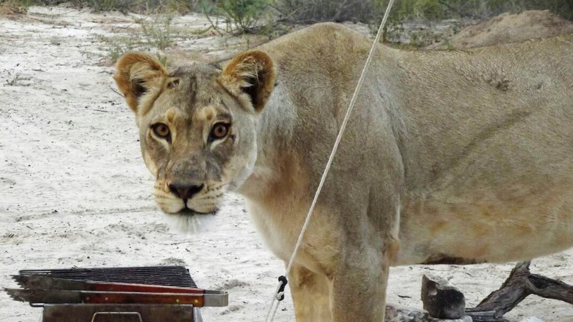 In this picture provided Wednesday May 25, 2016, a female lion stands next to a barbaque grill outside a camping tent at the Kgalagadi Transfrontier Park in Botswana. AP
