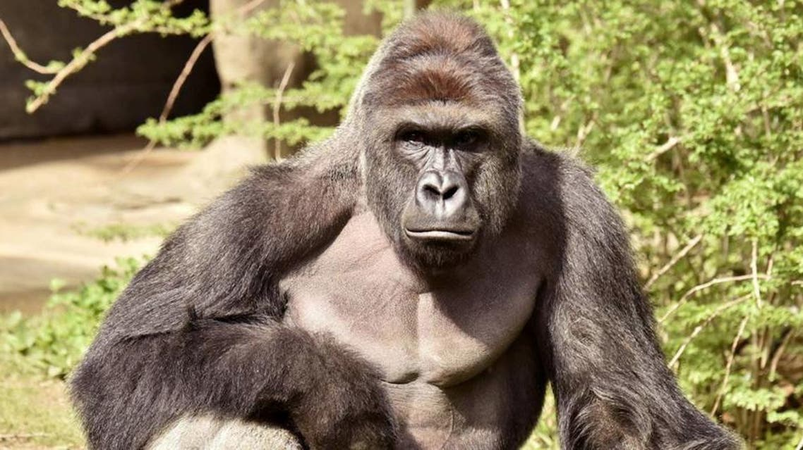 Harambe, a 17-year-old gorilla at the Cincinnati Zoo is pictured in this undated handout photo provided by Cincinnati Zoo. REUTERS/
