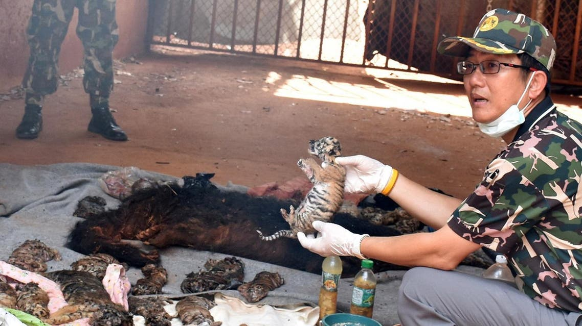 A dead tiger cub is held up by a Thai official after authorities found 40 tiger cub carcasses during a raid on the controversial Tiger Temple, in Kanchanaburi. (Reuters)