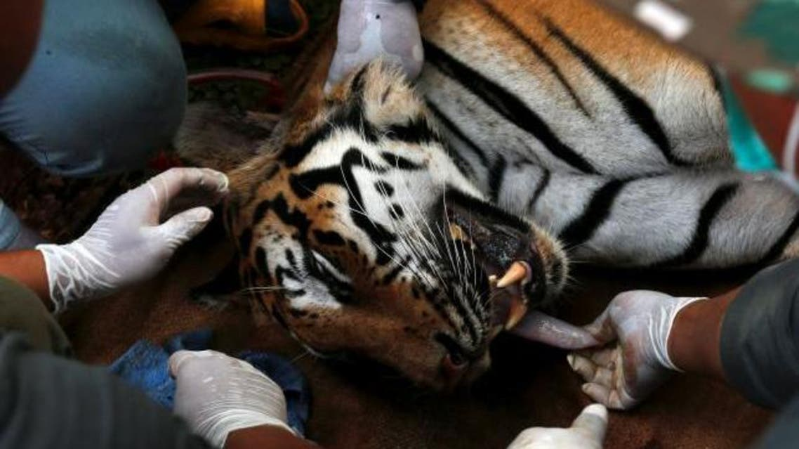 A sedated tiger is stretchered as officials continue moving live tigers from the controversial Tiger Temple, in Kanchanaburi province, west of Bangkok, Thailand, June 3, 2016. (Reuters)