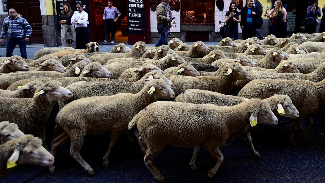 sheep AFP madrid