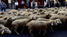 Sheep invade Spanish city after shepherd falls asleep