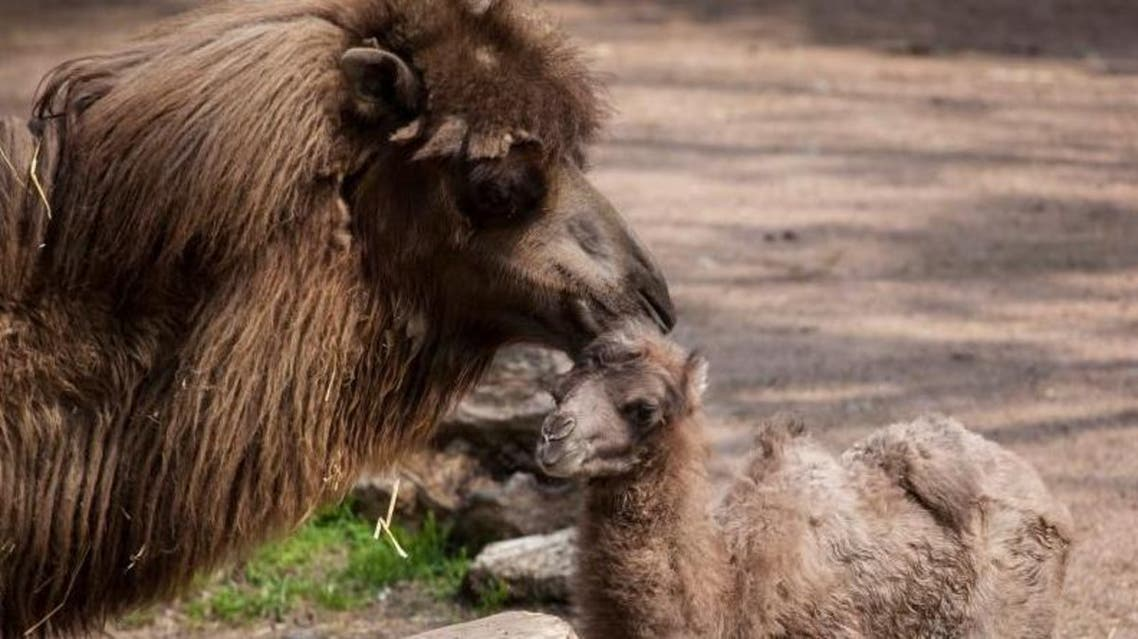 A month-old Bactrian camel named Alexander Camelton at Chicago's Lincoln Park Zoo has become a social media star