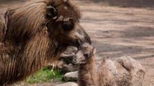 Chicago zoo's baby camel 'Alexander Camelton' a social media star