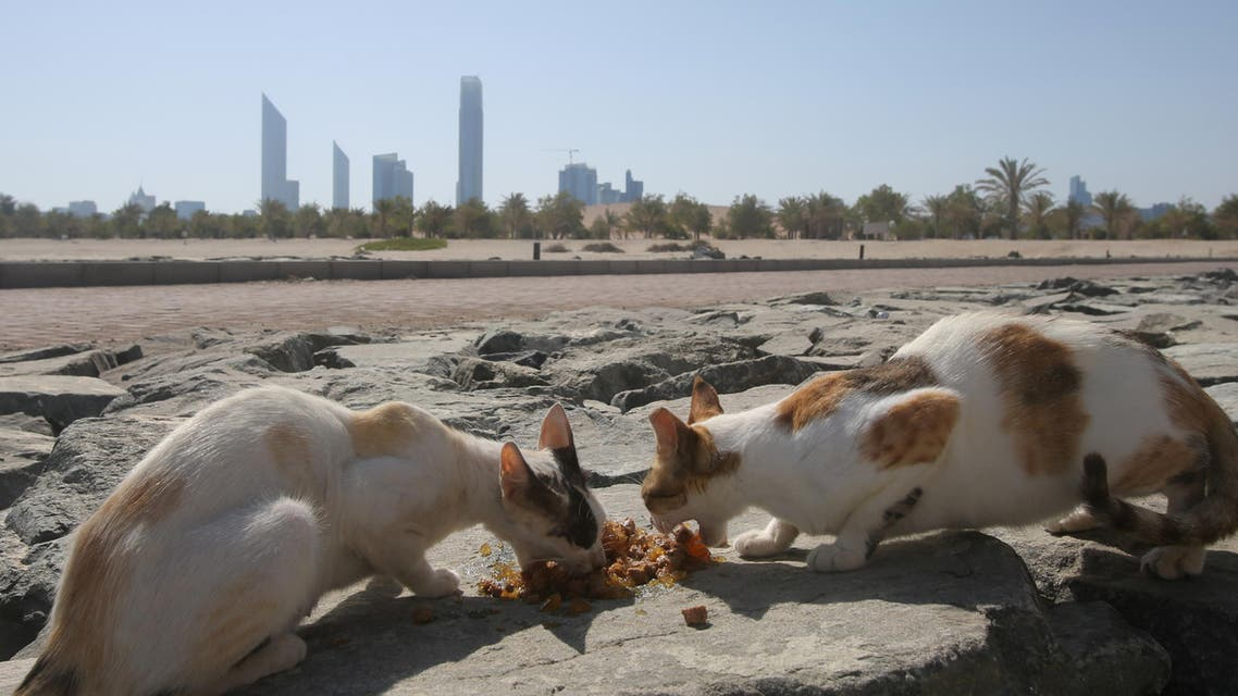 In this Wednesday June 15, 2016 photo, stray cats rush to eat food which was brought by the aid group Animal Welfare Abu Dhabi at the Lulu island in Abu Dhabi, United Arab Emirates.