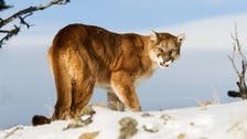 Woman pries open mountain lion's jaws to rescue her son
