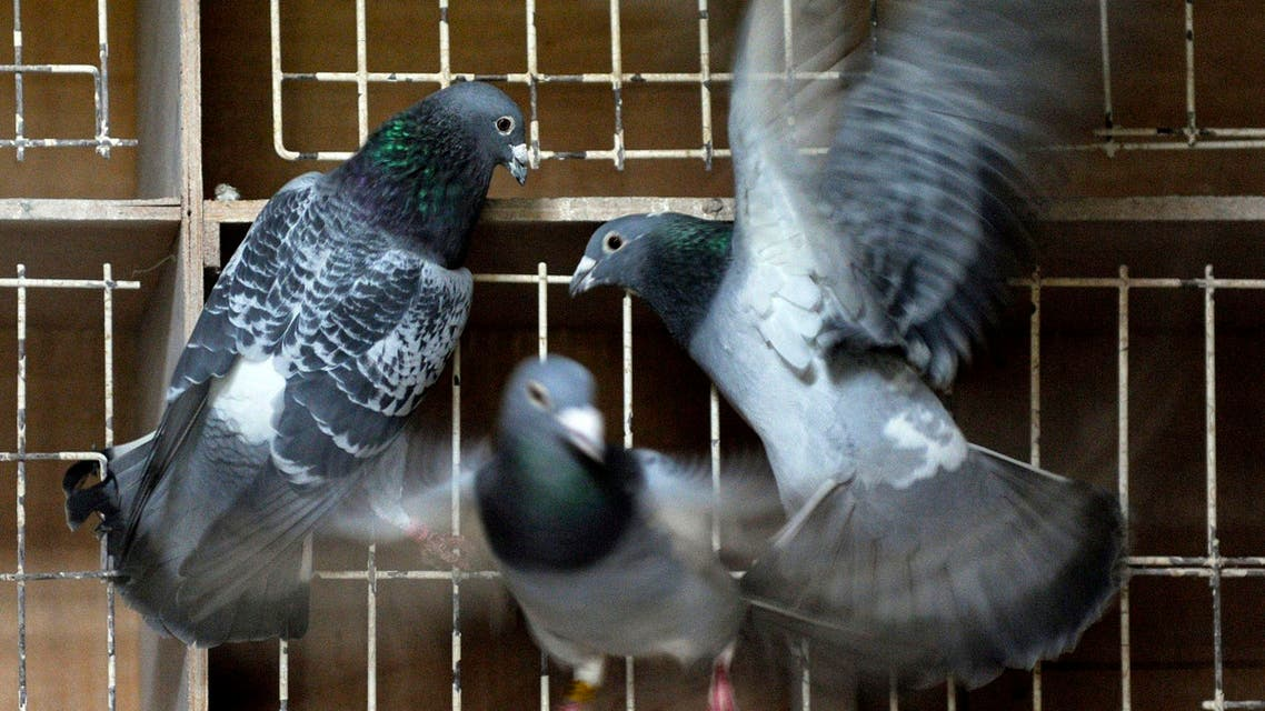 Pigeons fly inside their coop at Pigeon Paradise in Knesselare, Belgium. (File photo: AP)