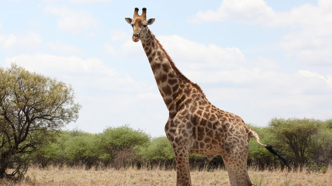 A giraffe grazes at the Vaalkop Dam Nature Reserve near Tantanana, South Africa, on Friday, Nov. 23, 2012. (AP)