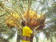 """بالصور.. مراحل """"خراف الرطب"""" في السعودية"""