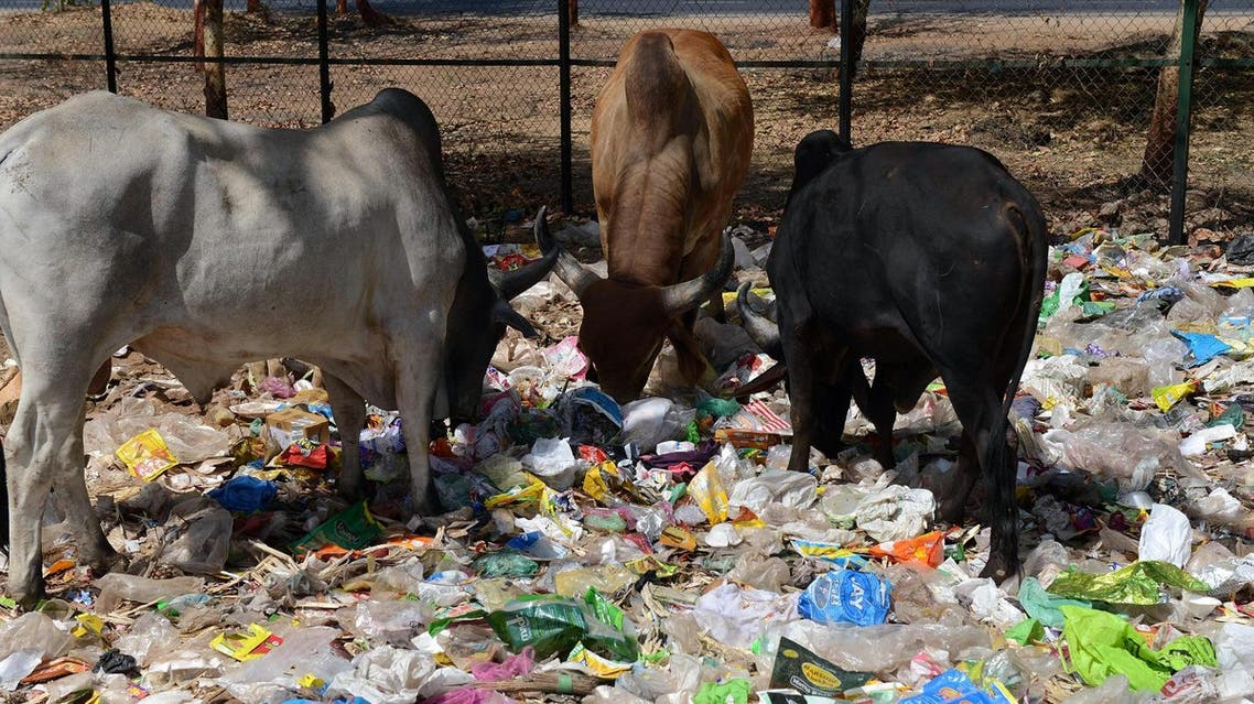 Indian cows eat from a pile of roadside trash in Gandhinagar, capital of western India's Gujarat state, some 30 km from Ahmedabad, on April 13, 2016.  SAM PANTHAKY / AFP