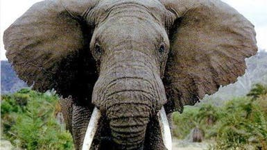 فيل يقتل طفلة رشقا بحجر في الرباط