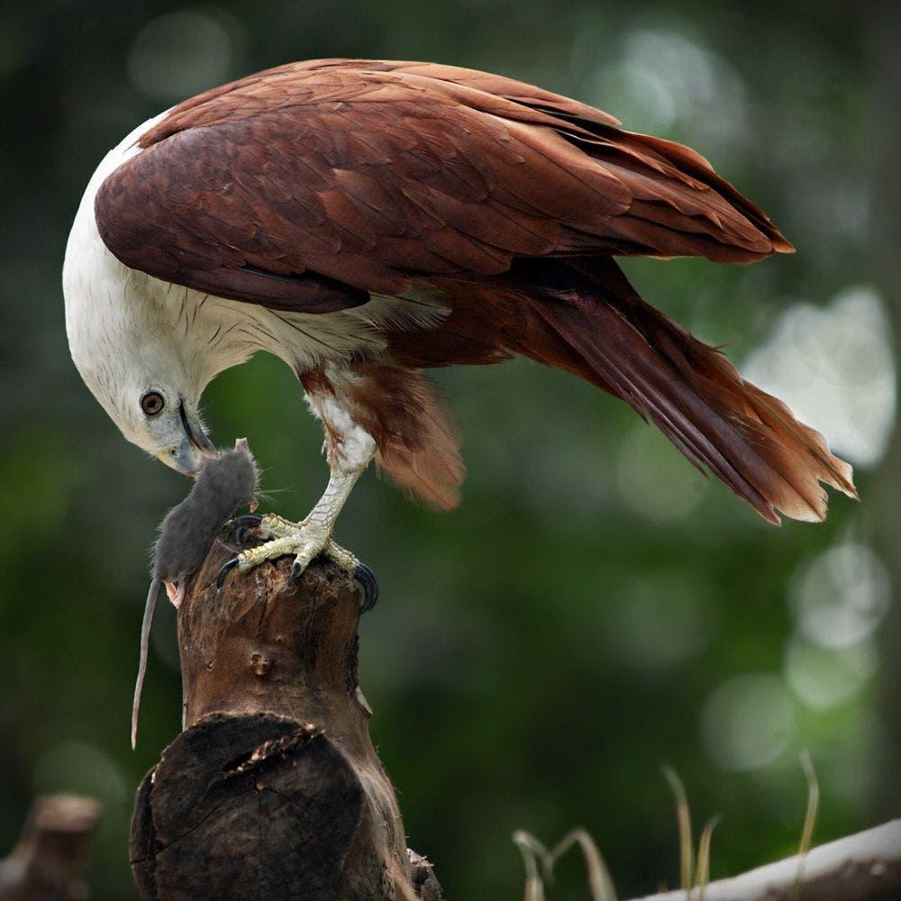 یک کورکور در حال خوردن شکار