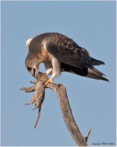 کورکورها گاهی حیوانات کوچک را نیز شکار میکنند