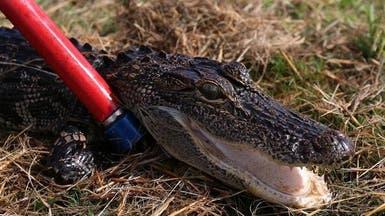 أميركا.. تمساح يكاد يقطع يد امرأة في فلوريدا