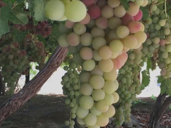 بالفيديو.. المكان الذي ينتج أجود أنواع العنب بالسعودية