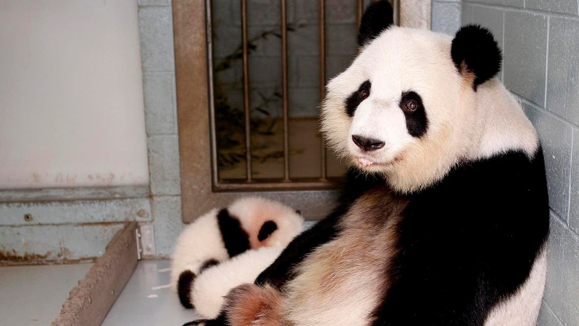 Giant Panda Lun Lun relaxes as her twin panda cubs Mei Lun and Mei Huan sleep at her feet at the Atlanta Zoo. (Reuters)