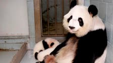 Double joy as mother of only giant panda twins in US pregnant again