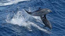 Dolphins teach each other to use tools to be better hunters, like great apes: Study