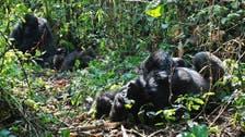World's largest gorilla is 'critically endangered'