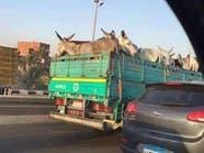 لماذا ذهبت هذه الحمير إلى القاهرة؟
