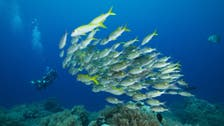 Coral fish stress out, lose weight, if separated from 'shoal-mates'