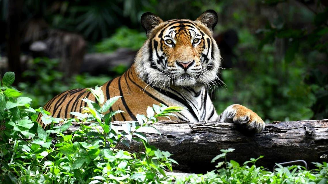 Tiger (Shutterstock)