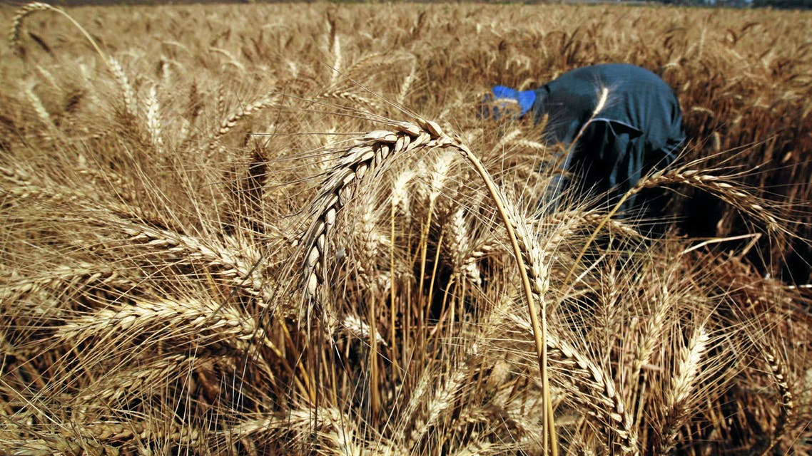 Wheat is seen in a field during the harvest on Qalyub farm in the El-Kalubia governorate, northeast of Cairo, Egypt, May 1, 2016 REUTERS