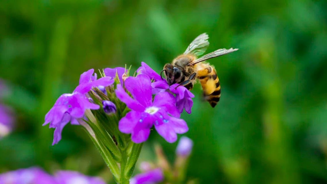 Bee on vegetable mercury flower نحلة نحل آي ستوك