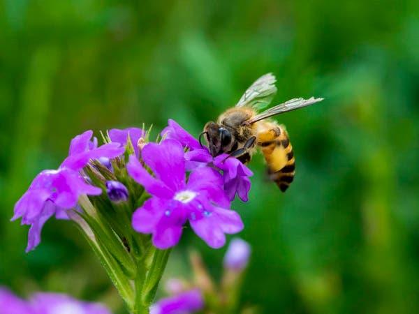 7 أنواع من النحل الأميركي معرضة للانقراض