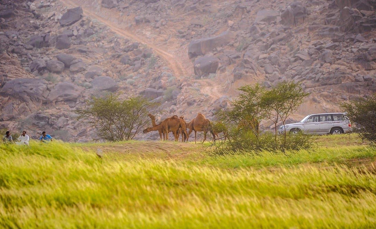 Camels graze in a touristic park near Tanumah province (Al Arabiya)