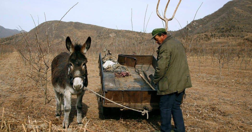 کمبود الاغ در چین