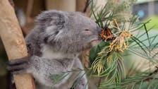 Butterfly photobombs koala at Australian wildlife park