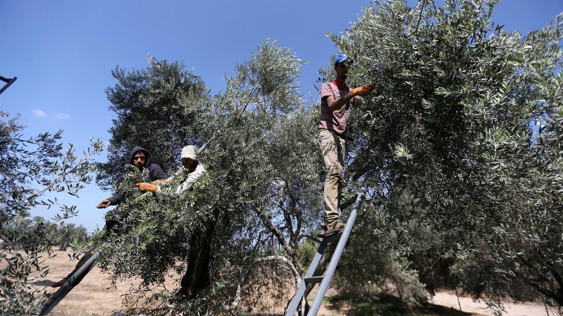 Olives harvest season in Gaza