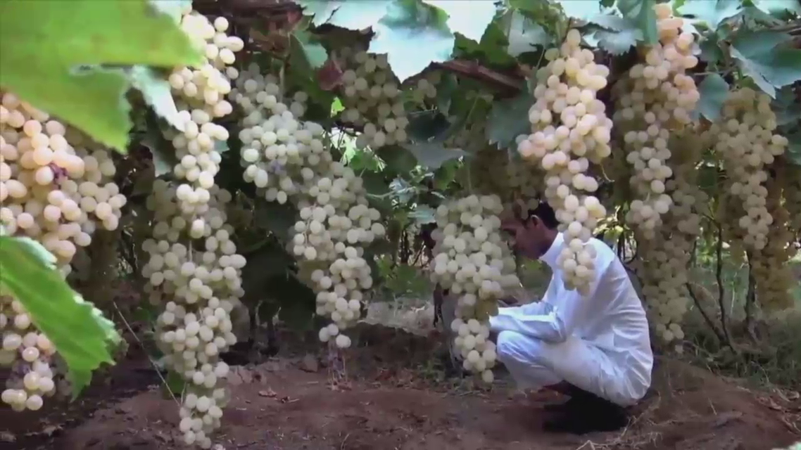 The region supplies more than 20,000 tons of different varieties of grapes all over the country. (Al Arabiya)