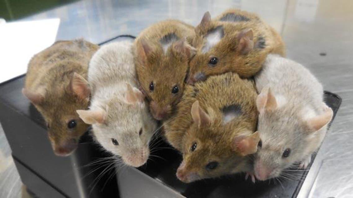 الفئران المولودة من خلايا جلدية في صحة جيدة