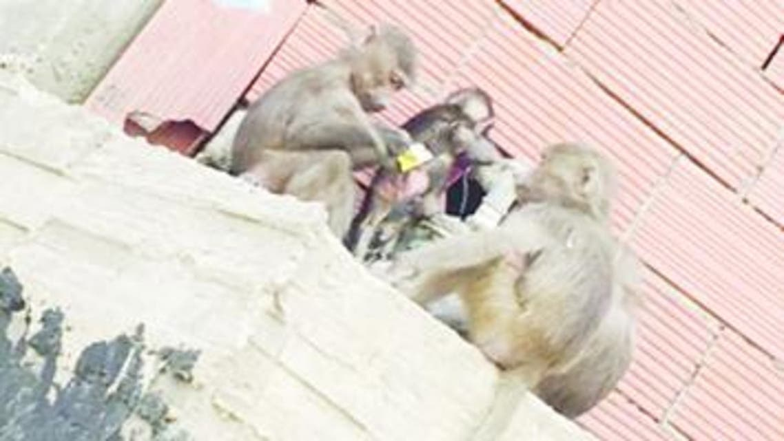 monkey saudi arabia makkah