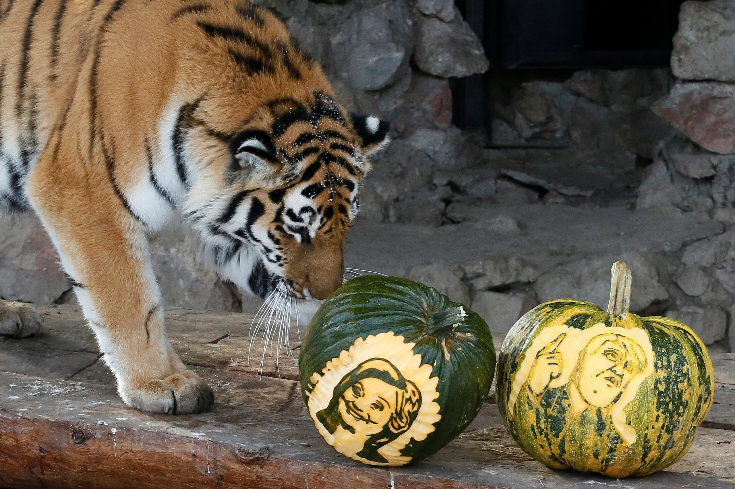 Yunona, a four-year-old female Amur tiger, stands near pumpkins with faces of U.S. presidential nominees Hillary Clinton and Donald Trump in Krasnoyarsk, Siberia, Russia, November 7, 2016. (Reuters)