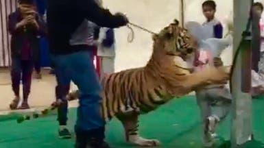 فيديو.. نمر يهجم على طفلة سعودية في سكاكا