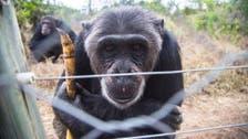 How a Kenyan ape sanctuary is battling illegal Mideast trade