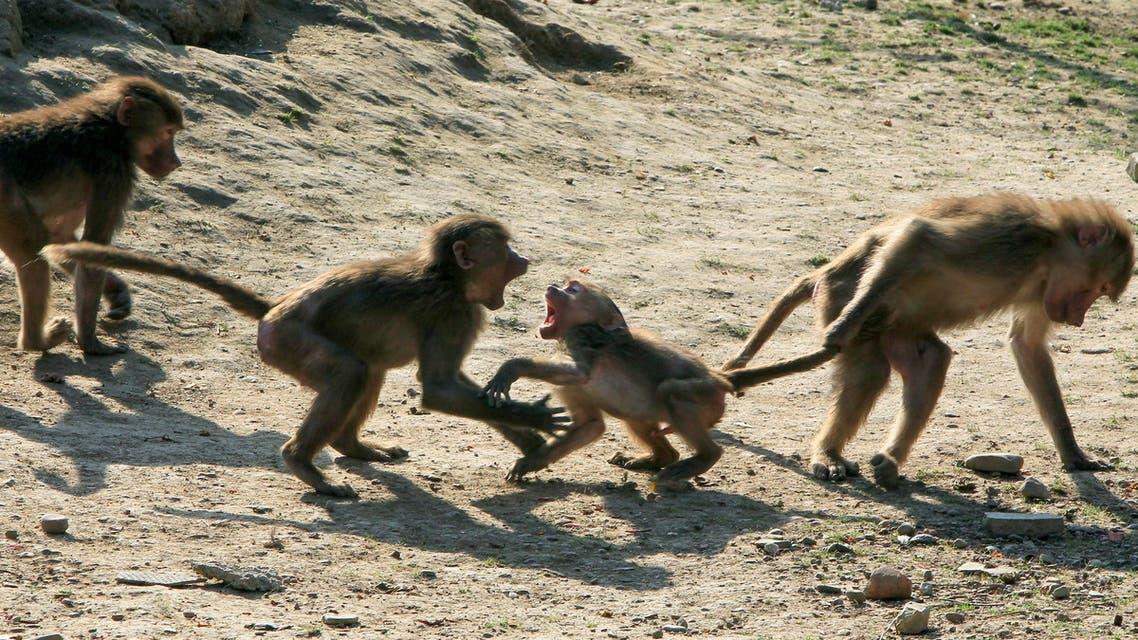 Monkeys. AP