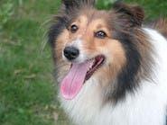 الكلاب تتواصل مع الإنسان بإيماءات الوجه