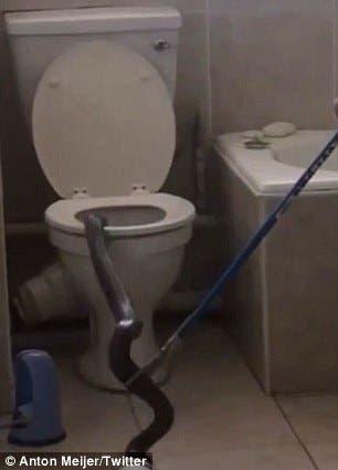 ثعبان ضخم يخرج من الحمام وسط رعب السكان
