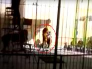 بالفيديو.. أسد يفترس مدربه أمام الأطفال بسيرك في مصر