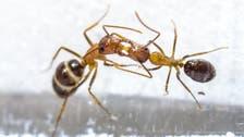 هل قبلات النمل كدموع التماسيح؟