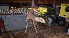Photos: Camel saved after falling into cistern in Saudi