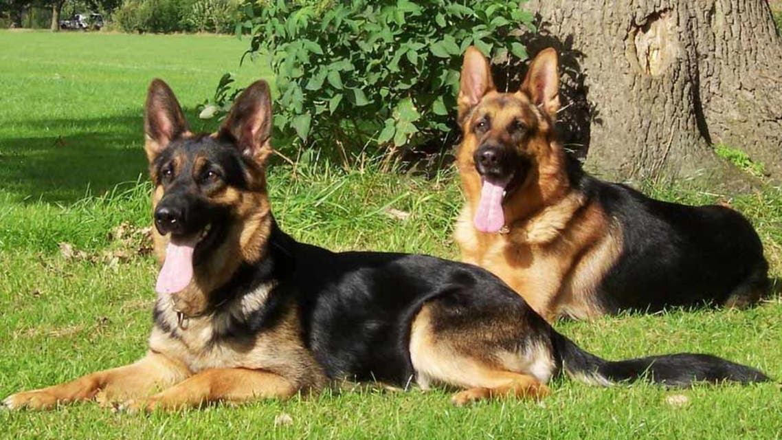 الكلبان من نوع شيرد الألماني